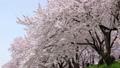 満開の桜並木と桜吹雪 五条川 ティルト・アップ 41525653