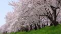 満開の桜並木と桜吹雪 五条川 ティルト・ダウン 41525654
