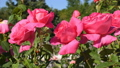 Pink roses in park 41531733