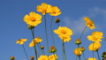 Yellow coreopsis flowers on blue sky background 41531734