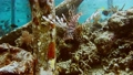 Scorpion fish near pier pale. Floating in ocean water with open red striped fin. Diving spot 41531856