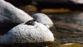 渓流の石の上で鳴くカジカガエル 41550167