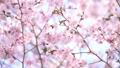 Ezo Yamazakura in full bloom (high-key photograph shooting) 41572764