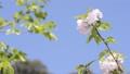 천엽벚나무, 겹벚나무, 국화벚 41649991