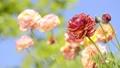 라넌큘러스, 라눙쿨루스, 꽃 41649992