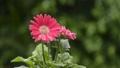 거베라, 꽃, 플라워 41649994