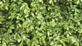 잎, 이파리, 잎사귀 41649995