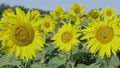 Field of blossoming sunflowers against the blue sky 41708688
