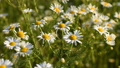 Flowers of camomile close-up 41760234