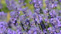 Flowers of lavender close-up 41760241