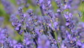 Blossom lavender close-up in slow motion 41760242