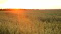 พื้นหญ้า,ทุ่งนา,นา 41787513
