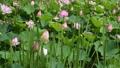 睡蓮 スイレン 蓮 葉 植物 雨 梅雨 六月 水 日本 自然 41792369