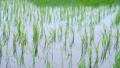 初夏の田んぼ 雨 スロー(フィックス) 41872183