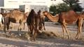 Camels at Souq Waqif market in Doha, Qatar 41873258