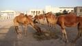 Camels at Souq Waqif market in Doha, Qatar 41873259