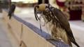 Falcon in bird market, Doha, Qatar 41873264