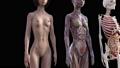 肌肉發達 肌肉 解剖學 41890966