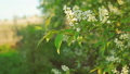 Blossoming bird cherry in sun light 41892568
