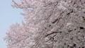 満開の桜 フィックス 42044517