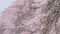 満開の桜 フィックス 42044518