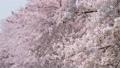 満開の桜 左にスライド 42044519