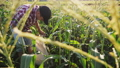 トウモロコシ コーン とうもろこしの動画 42077125