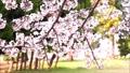 春天材料櫻花背景材料·沼津門池塘櫻花瓣花瓣飄動·固定9秒橫向位置沒有聲音 42130763