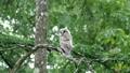 ลูกไก่ของนกฮูกระวังการต่อสู้จากต่างประเทศบนต้นไม้ในป่าสีเขียวสด 42139356