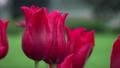 Macro of red tulips 42145421