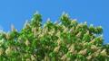 Blossoming chestnut tree 42145427