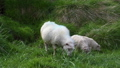 Sheeps grazing in Iceland 42242907