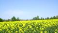 일면의 유채 꽃 (홋카이도 안평 빵 촬영) 42273590