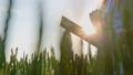 むぎ ムギ 小麦の動画 42292926