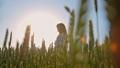 むぎ ムギ 小麦の動画 42292928