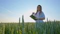 むぎ ムギ 小麦の動画 42292945
