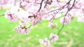 櫻花盛開(修復拍攝) 42294155