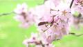 櫻花盛開(修復拍攝) 42294156