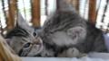 สัตว์,สัตว์ต่างๆ,แมว 42383045