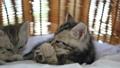 สัตว์,สัตว์ต่างๆ,แมว 42383046