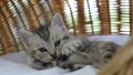 สัตว์,สัตว์ต่างๆ,แมว 42383145