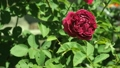 Claret red rose flowering in rosary close up. Deep 42441330