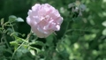 Cream coloured rose-bud flowering in rosarium 42441334