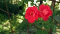 Red roses swing in the wind in the garden. Two red 42441338