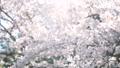 ソメイヨシノ(フィクス撮影) 42469214