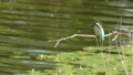 A kingfisher's young bird who is on the branch of the waterfront and shows her back 42479191