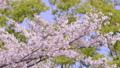 ดอกซากุระบาน,ซากุระบาน,ฤดูใบไม้ผลิ 42501385