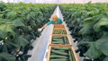cucumber, collecting, greenhouse 42557075