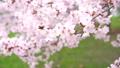 満開の桜(フィクス撮影) 42557931