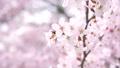 満開の桜(フィクス撮影) 42557932